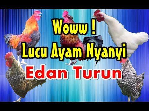 Ayam Nyanyi Edan Turun Parodi Dangdut Koplo Ngakak Youtube Lagu Lucu Bernyanyi