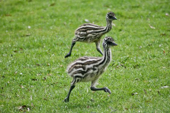 Scientific Name: Dromaius novaehollandiae novaehollandiae  Description : The emu is the second largest bird currently in existence (ostrich is the largest). They have long necks and legs. The neck is a pale blue colour. Wings are vestigial (only slig benefits of emu oil