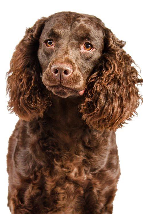 American Water Spaniel Dog Breed Information American Water Spaniel Dog Breeds Spaniel Dog