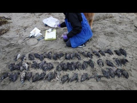 More than 100,000 of the small seabirds have been found dead along Pacif...
