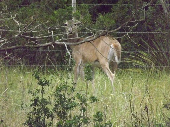 This deer almost ran me over at South Llano Camping - 2012 (12) by todd.freese, via Flickr