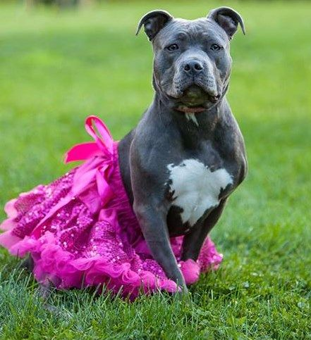 Kaeya is an 10 month old, female, blue nose pit bull. She ...
