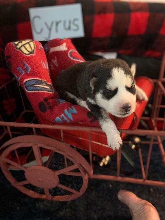 Cyrus Male Puppy Siberian Husky For Sale Near Houghton Lake