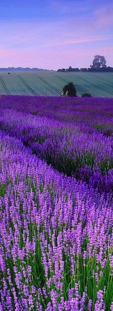 Lavander, Norfolk, England: