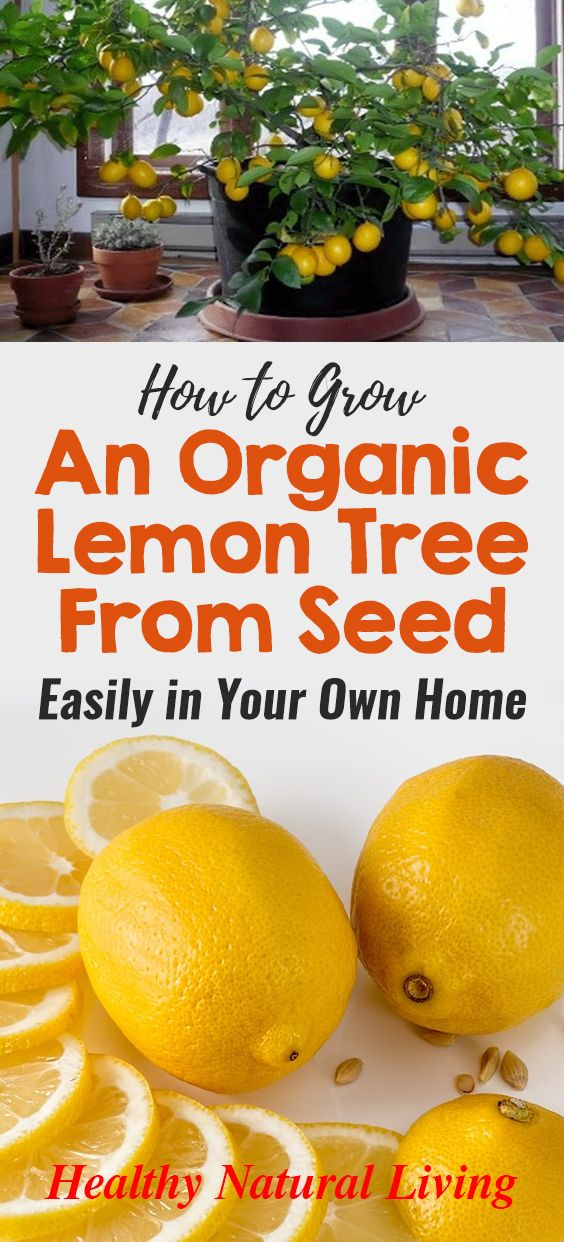 How To Grow An Organic Lemon Tree From Seed Easily In Your Own