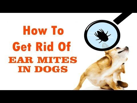 How To Get Rid Of Ear Mites In Dogs Fast Naturally At Home Home Remedies For Ear Mites In Dogs Youtube Dog Remedies Mites On Dogs Home Remedies