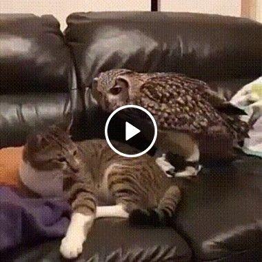 Coruja toma o lugar do gato no sofá