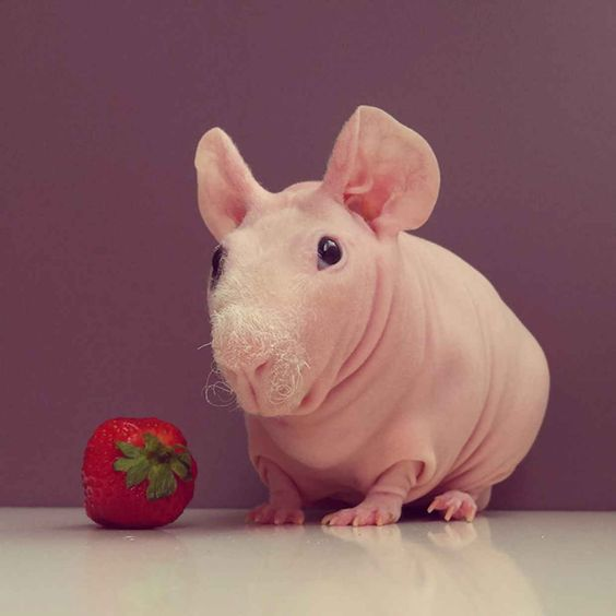 Ludwig The Bald Guinea Pig Is Winning The Internets Hearts - Ludwig the bald guinea pig is winning the internets hearts
