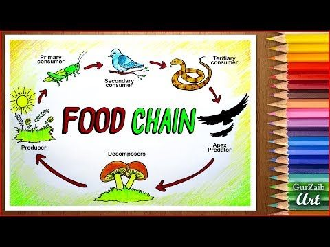 How to draw Food Chain Diagram poster chart drawing for school students (  easy ) step by step - YouTube in 2020   Food chain diagram, Easy drawings,  Food drawingPinterest