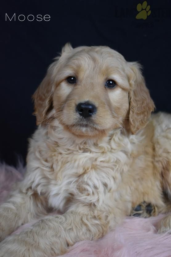 Moose Goldendoodle Puppy For Sale In Apple Creek Oh In 2020 Puppies For Sale Goldendoodle Puppy For Sale Goldendoodle Puppy