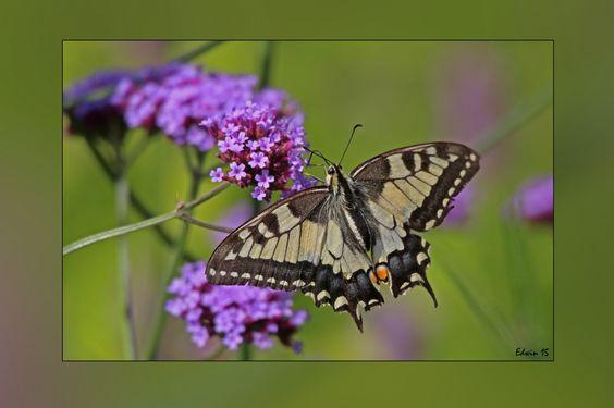 Koninginnenpage gefotografeerd door Edwin in De Wieden. Voorvleugellengte 32-41 mm, de grondkleur van onder en boven vleugel is geel. Op de bovenzijde van de voor en achtervleugel bevind zich een doorlopende een brede blauwe band met zwarte randen. Opvallend zijn de staartjes aan de achtervleugel en rode stip.