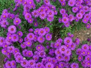 New England Aster  3- 1g