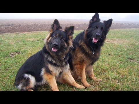 8 Things To Consider When Buying German Shepherd Puppies Youtube