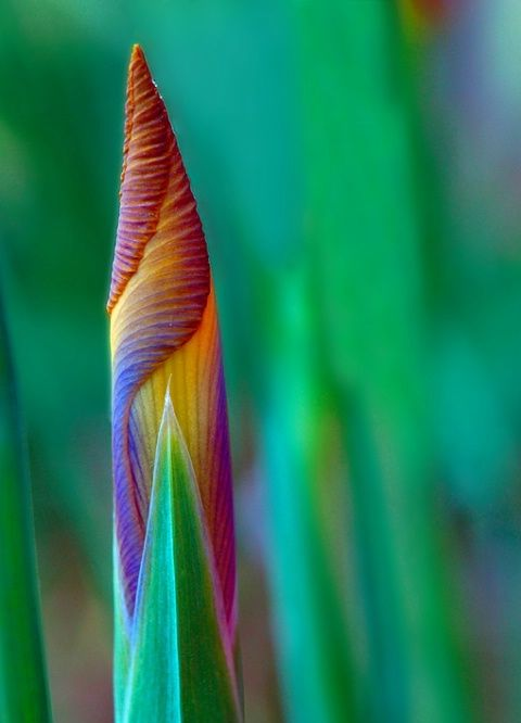 Candy Stripes - Iris bud