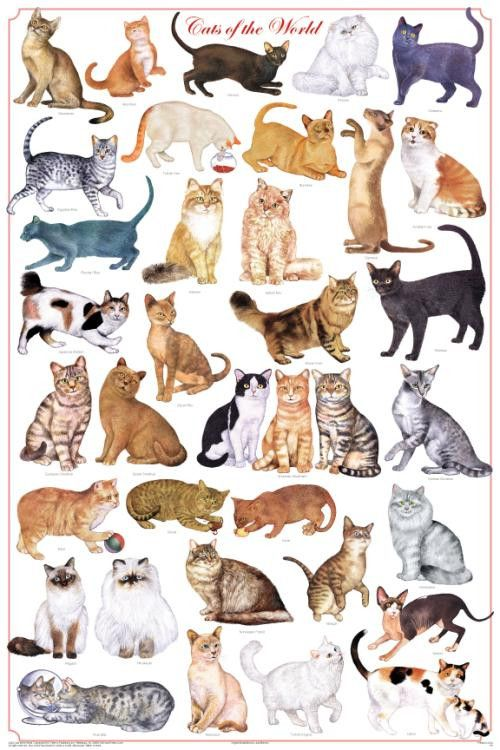 Laminated Cats of the World Poster 24x36 Felis catus by Feenixx Publishing. A Beautiful New Poster... The domestic house cat, Felis silvestris catus, descends from a group of desert wildcats that live