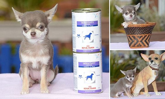 Meet Britain S Tiniest Dog And Biggest Diva Small Dogs Dogs Pets