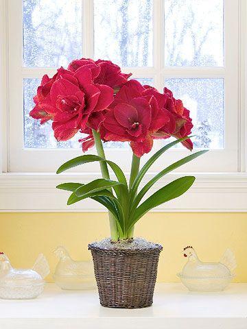 Amaryllis (Indoor House Plants)