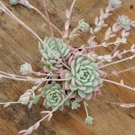 echeveria prolifica pinterest pelouses. Black Bedroom Furniture Sets. Home Design Ideas
