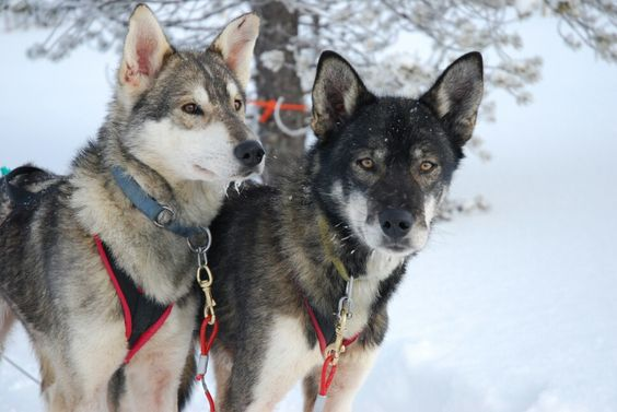 Husky, dogsledding @ Lapland