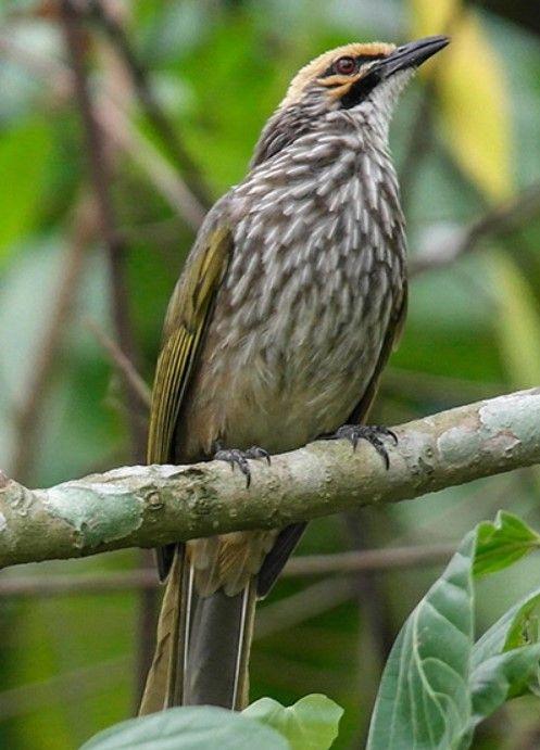 Tak Jarang Burung Kicauan Ini Akan Diikutsertakan Dalam Berbagai Kontes Bagi Pemilik Suara Kicauan Terbaik Dari Sekian Jenis Bur Burung Gambar Burung Habitat