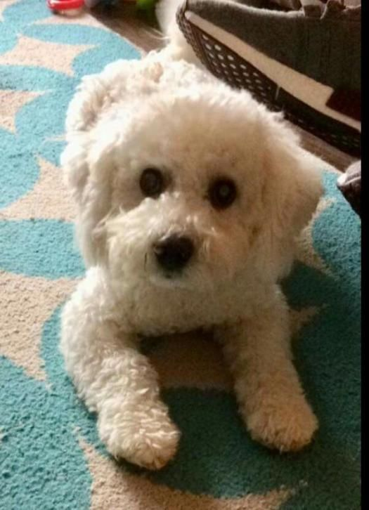 Chase Bichon Frise In Mayo For Stud With Dogs Ie Bichon Frise