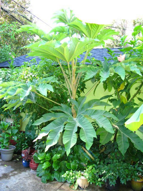 Uk Tropical Plants Part - 33: 16 Best Hardy Tropical Plants Images On Pinterest | Tropical Plants,  Tropical Garden And Garden Plants
