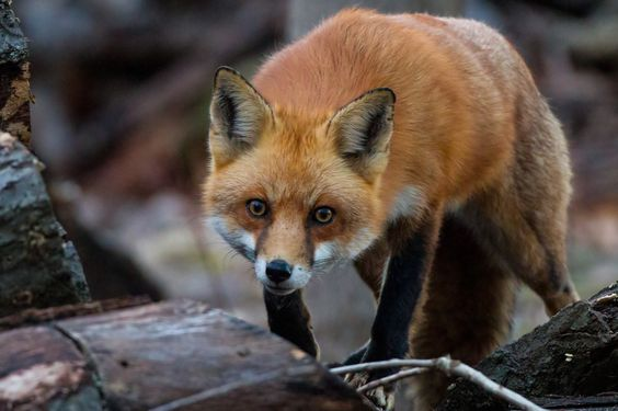 Red Fox by Carl Monopoli on 500px