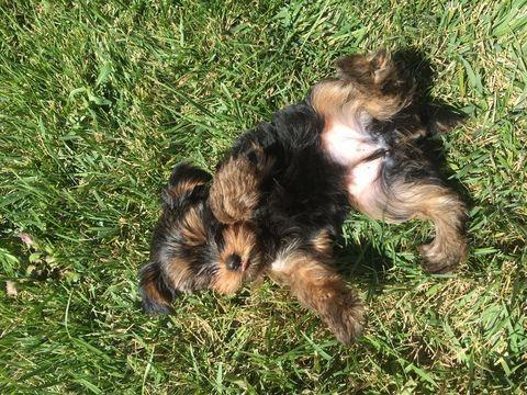 Yorkshire Terrier Puppy For Sale In Vancouver Wa Adn 46420 On Puppyfinder Com Gender Female Age 16 Weeks Ol With Images Yorkshire Terrier Puppies Yorkshire Terrier Dog