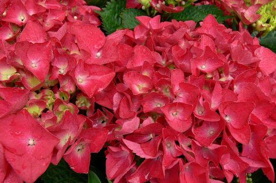 Hydrangea 'Hot Red'