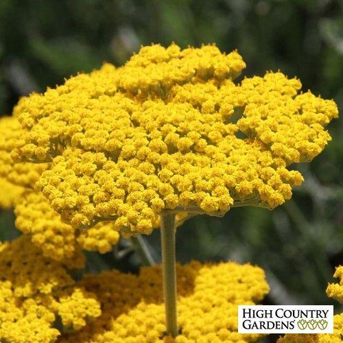 Achillea Filipendulina Coronation Gold Yarrow Close Up Drought Tolerant Garden Long Blooming Perennials High Country Gardens