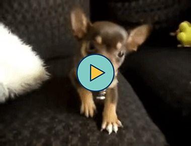 esse cachorrinho pequenino gosta muito de brincar