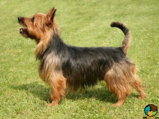 Australian Terrier Dog Breed Information Uk Pets Australian Dog Breeds Dog Breeds Australian Terrier