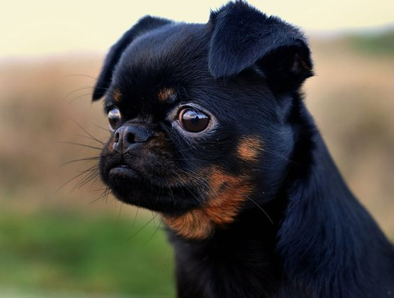 Griffon dogs on Pinterest | Griffon Bruxellois, Brussels and ...