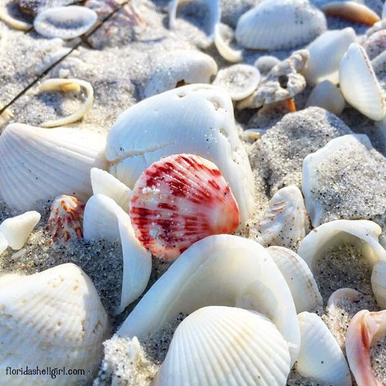 Gorgeous Scallop Shell From Bonita Beach, Florida. #shell