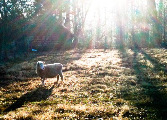 Romney wool ewe, early spring pasture, Another beautiful morning