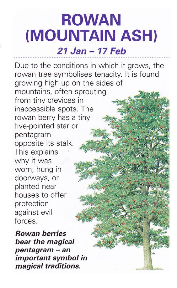 Celtic sacred trees Rowan mountain ash: