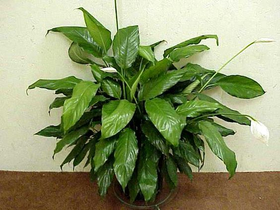 House plants pictures and names peace lily spathiphyllum water bearer tips caring for - Name of house plants ...
