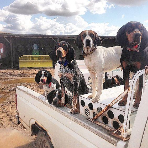 116 Best Bluetick Coonhound images  Bluetick coonhound