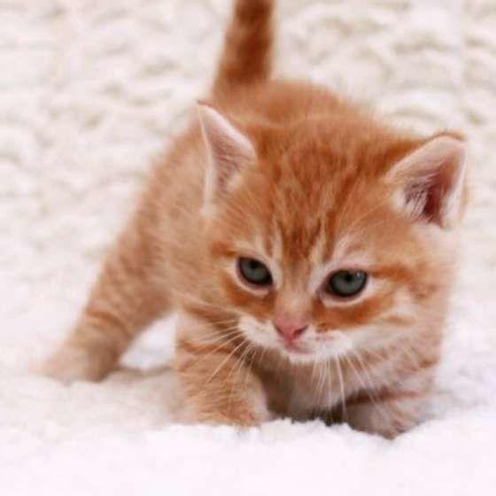 猫 フケ 対策