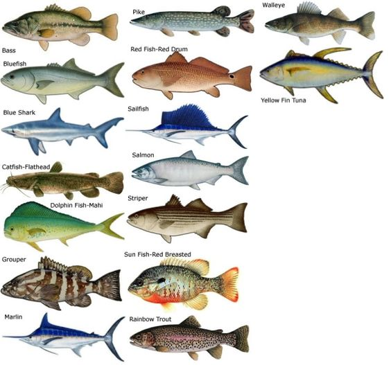Types of saltwater fish research common types of salt for Saltwater fish representative species