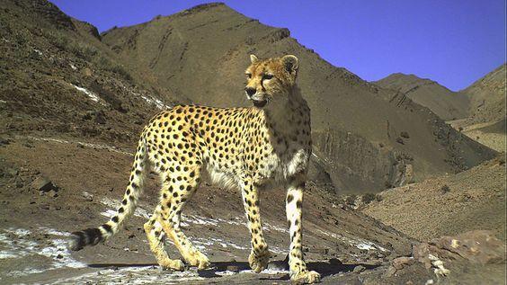 Geopardo asiático.