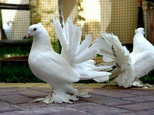 جميع أنواع الحمام بالصور Fantail Pigeon Pigeon Bird Beautiful Birds