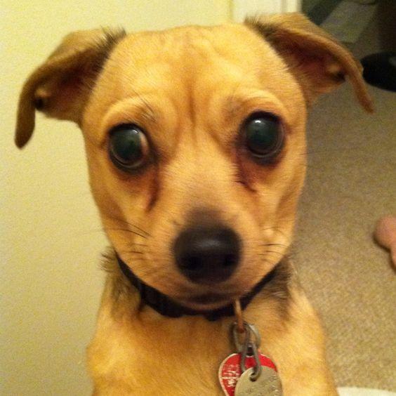 "Chihuahua dachshund mix - ""chiweenie"" or ""Mexican hotdog""."
