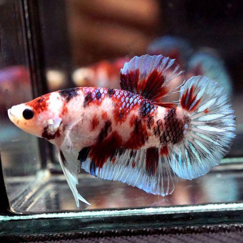 Pin Oleh Marianne Sans Di Beautiful Betta Fish Ikan Cupang Ikan