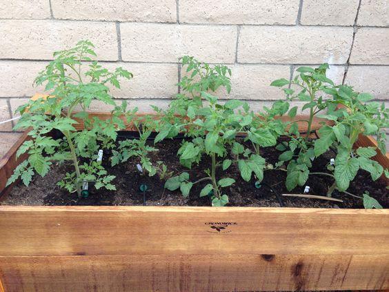 Tomatoes week 2