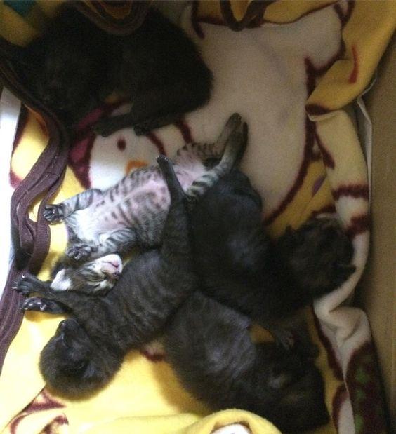 なごむ寝んねちゃんたち しかしこれは嵐の過ぎた後 誰かの寝で全員大惨事朝時の早朝風呂ブローオシッコでくったくた  もう少し大きくなったら#里親様大募集 埼玉県周辺の方 #保護猫#捨て猫#子猫#kitten#猫#ねこ#黒猫#埼玉県#blackcat#kitten#cat#cats#catstagram#pet#pets#petstagram by takopchan
