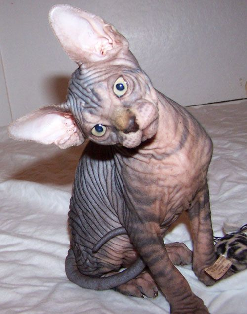 Sphynx Cats For Adoption Home Sphynx Kittens For Adoption Contact Helensilia Hotmail Com Cat Adoption Cute Cats Hairless Cat