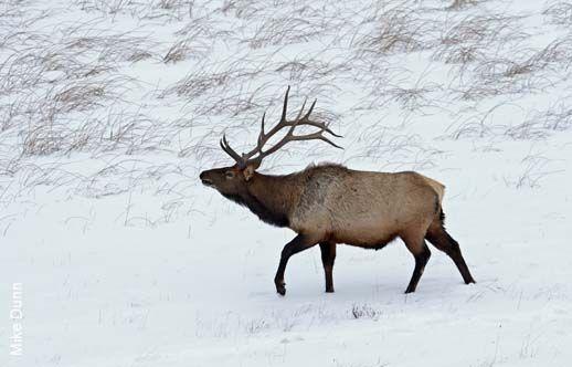 A large bull Elk strides through a grassy meadow.