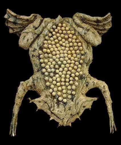 pipa frog - the female carry the eggs in holes on the back