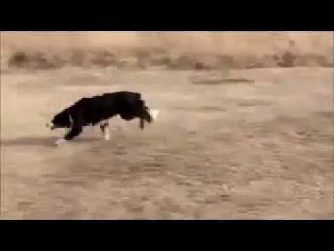 أفضل تدريب للكلاب اقوى التدريبات مع افضل مدربين فى العالم هتخلى كلبك وحش Ayoda Tv Like Animals Animals Cute
